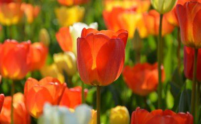 SERCOM op Dag van de Tulp